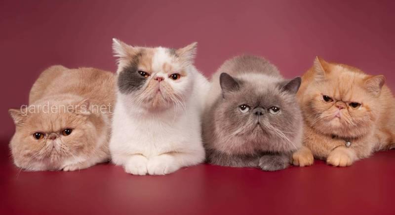 Персидська кішка зачаровує своєю красою та неповторністю