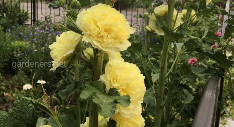 Выращивание шток-розы: