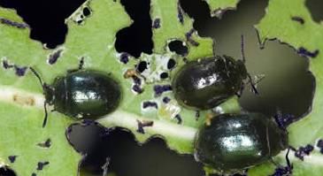 Черемуховый листоед