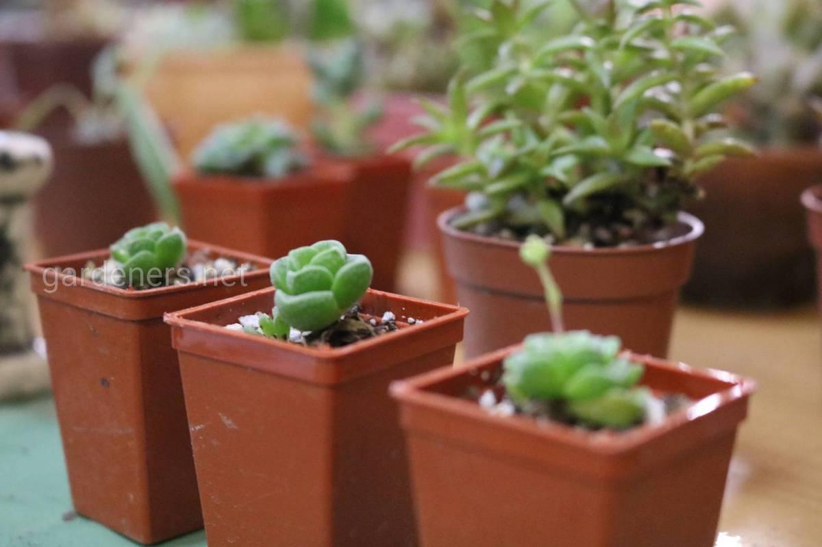 кактусы в маленьких вазонах