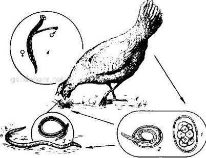 Сингамоз домашней птицы