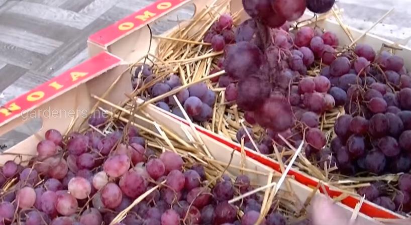 Хранение винограда в ящиках с опилками