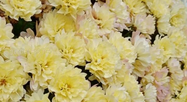Хризантемы в культуре