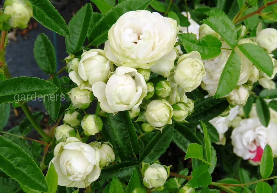 Розы Morsdag White