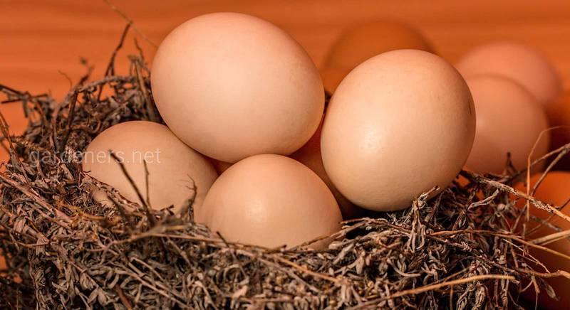 Почему зима «ворует» яйца у кур?