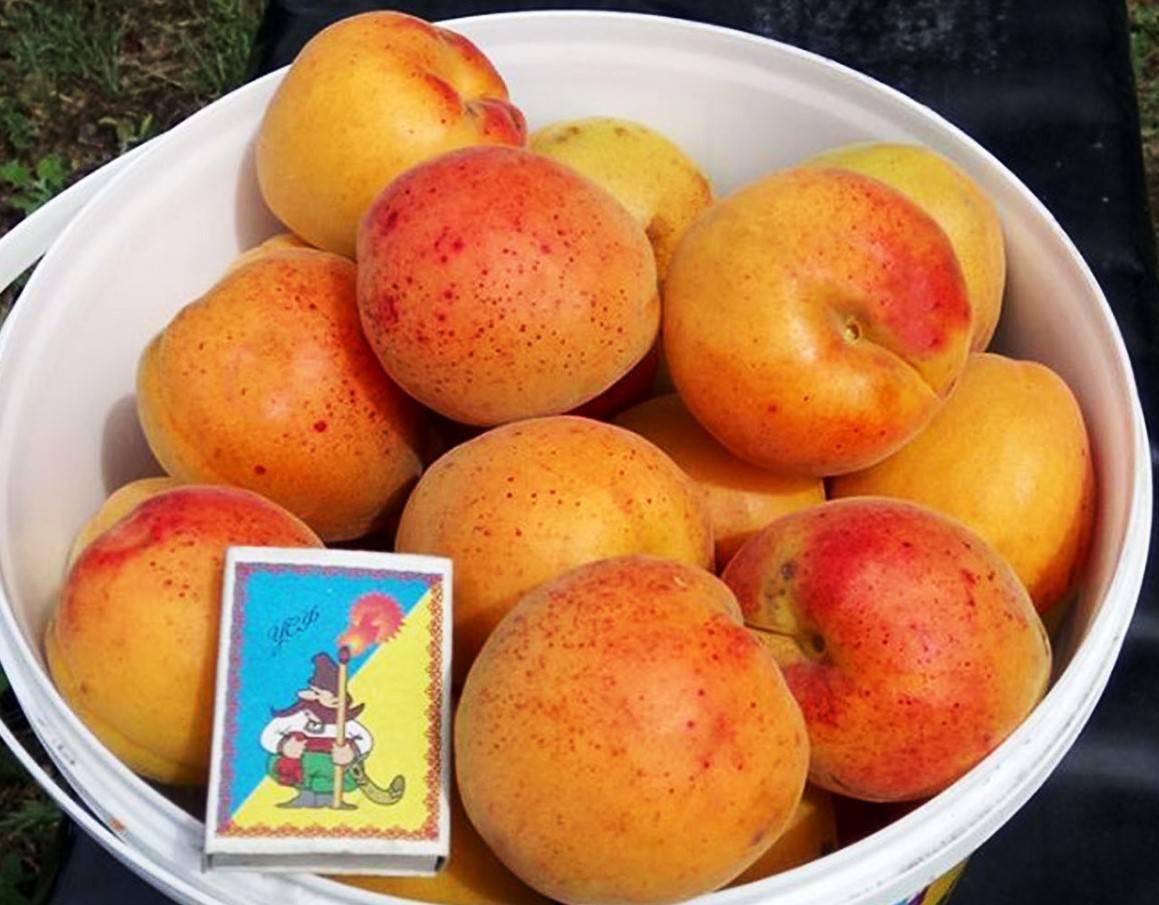 Сорт абрикоса Полесский крупноплодный