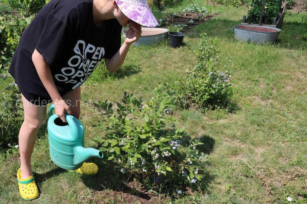 Пізньо-літнє підживлення саду