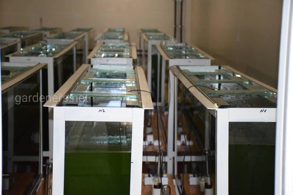 Биологическая реабилитация водоемов путем альголизации штаммами хлореллы