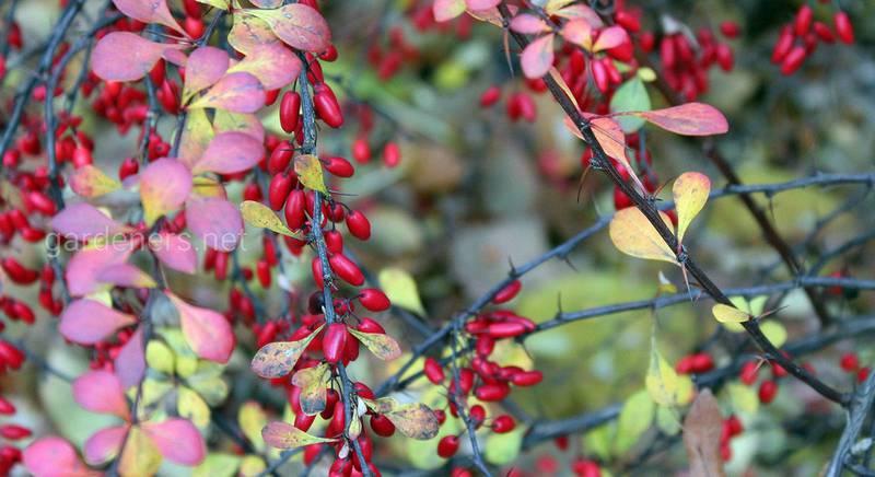 Барбарис у вашому саду: правила посадки та догляду