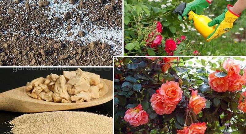 Чем подкормить розы весной для пышного цветения.jpg