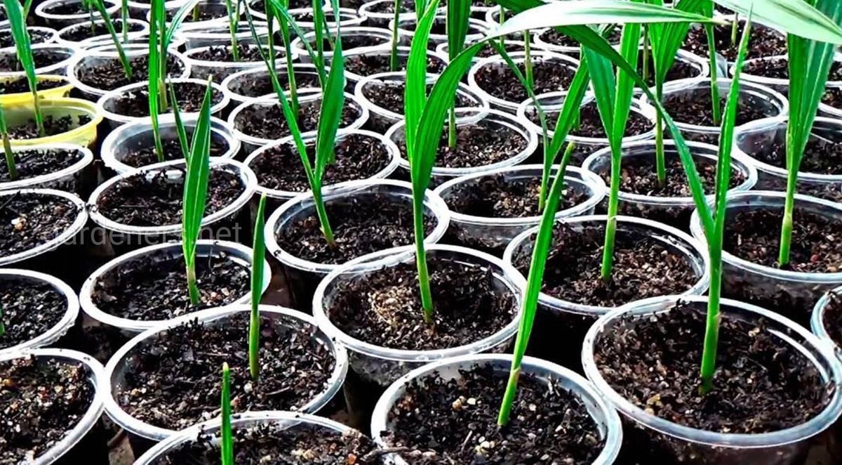 вашингтония из семян