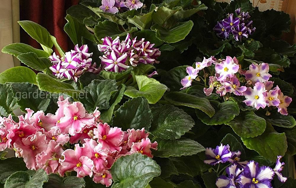 фиалки химеры цветут