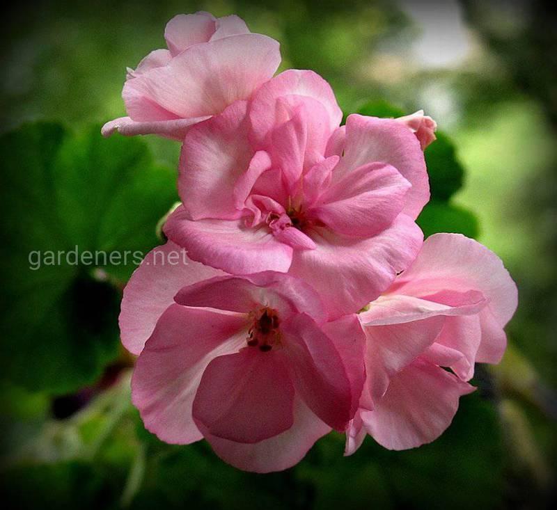 Почему не цветет моя маленькая пеларгония?