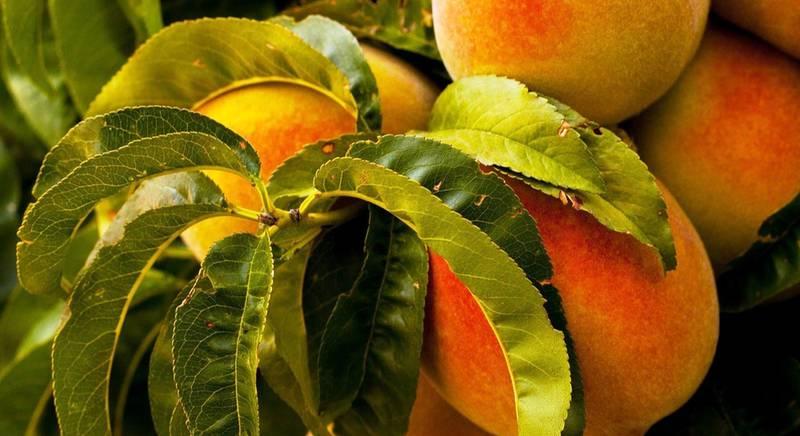 Болезни и вредители, которые угрожают персику