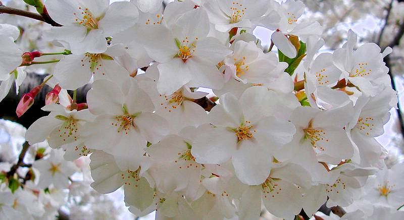 Декоративная вишня. Популярный сорт