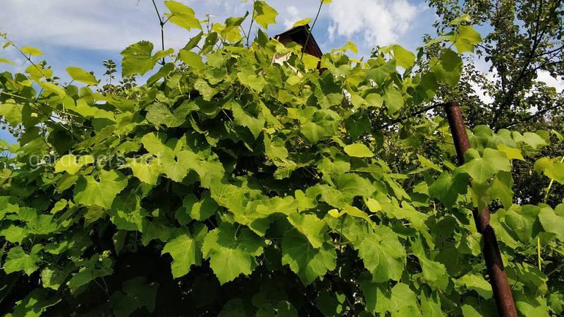 Чому у винограду сохне листя