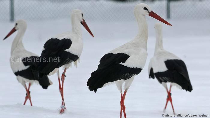 Птица Белый аист