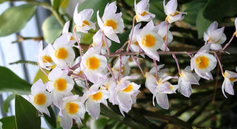 Секреты правильного ухода за орхидеей дендробиум