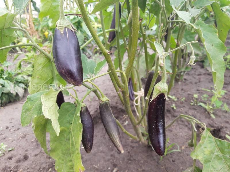 Особливості вирощування баклажанів