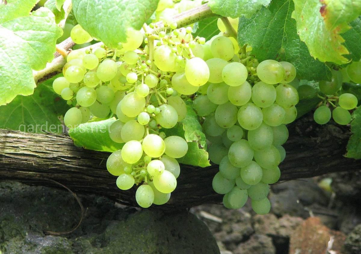 Сорт винограда для вина Вердельо
