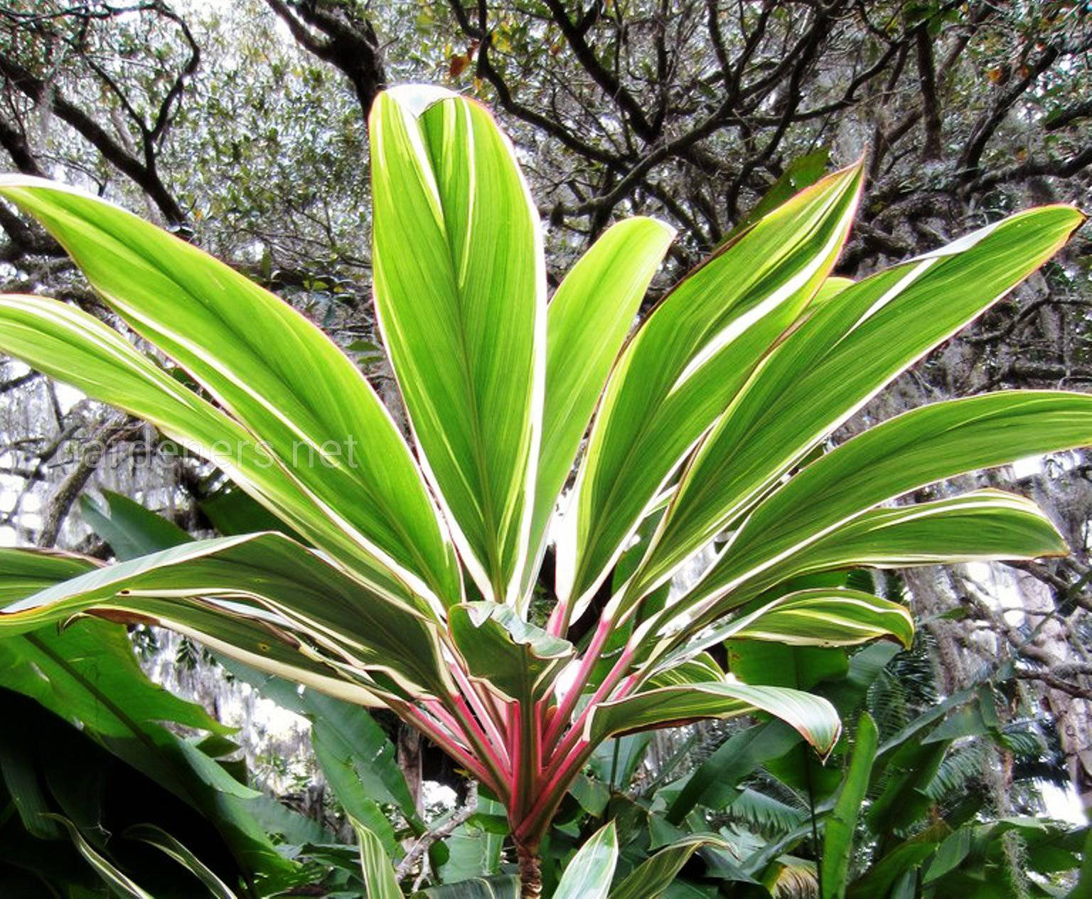 Cordyline fruticosa Pink Diamond.jpg