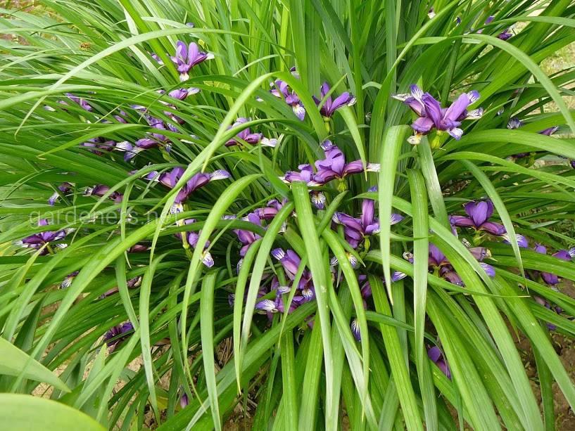 сорт ирисов «Злаковидный» (Iris graminea)
