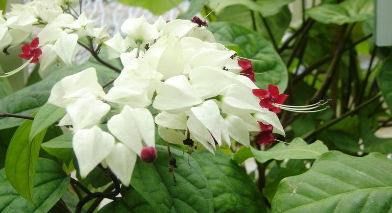 Clerodendrum spelends.jpg