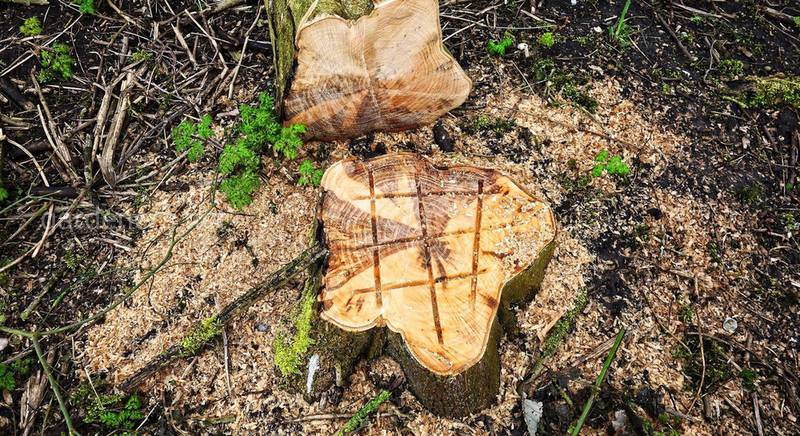 Спиливание деревьев на собственном участке: полезные советы и штрафы в Украине