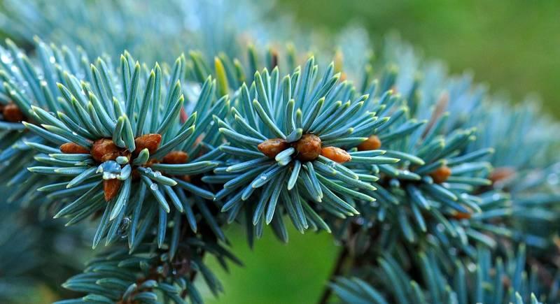 dwarf-blue-fir-529223_1920.jpg