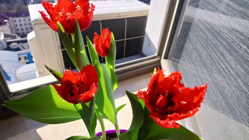 Як доглядати за тюльпанами в горщику після цвітіння?