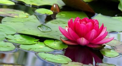 Разновидности лотосов. Как посадить и ухаживать за лотосом в своем водоеме?