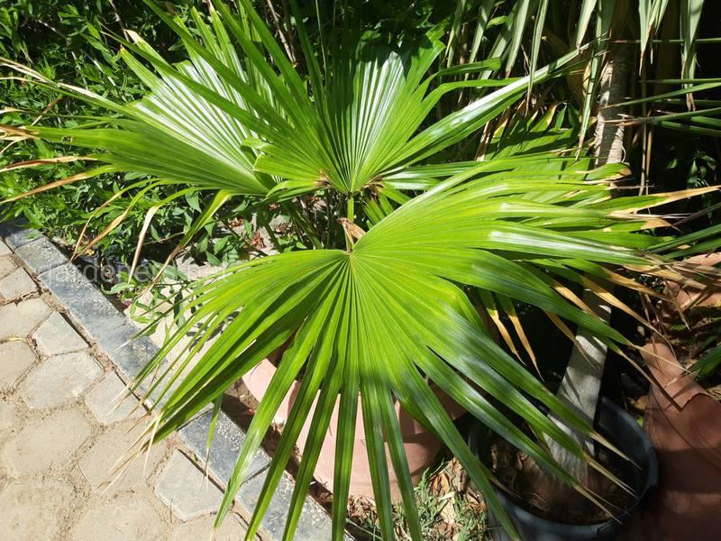 Какие проблемы могут возникнуть при разведении кокосовой пальмы?