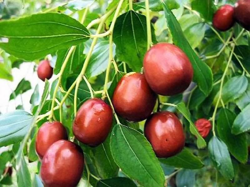 Зизифус: описание, выращивание, размножение, сбор урожая