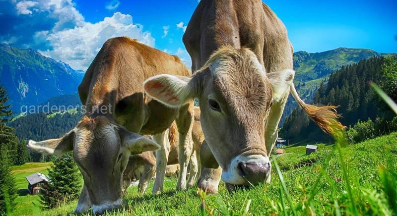 Які породи м'ясної худоби кращі для розведення
