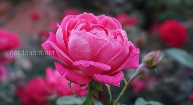 Черенкование розы