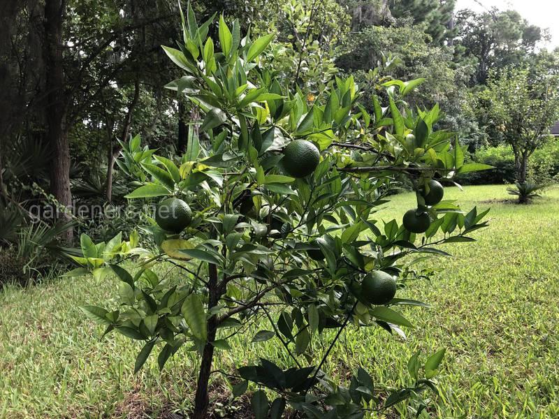 Как правильно обрезать лимонное дерево?