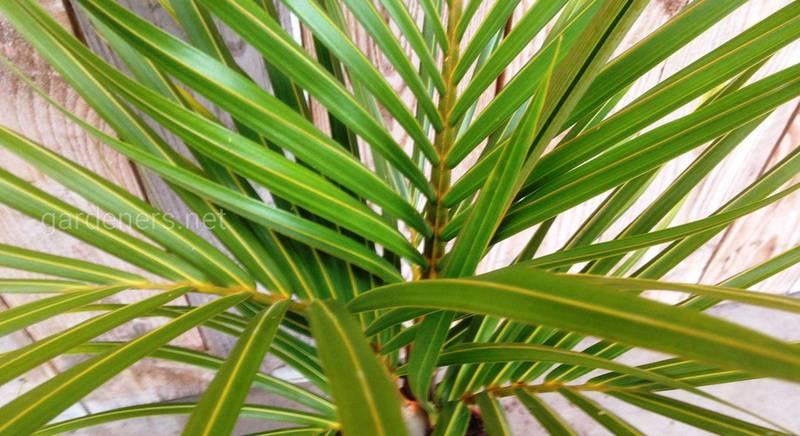 пальма гиофорба.jpg
