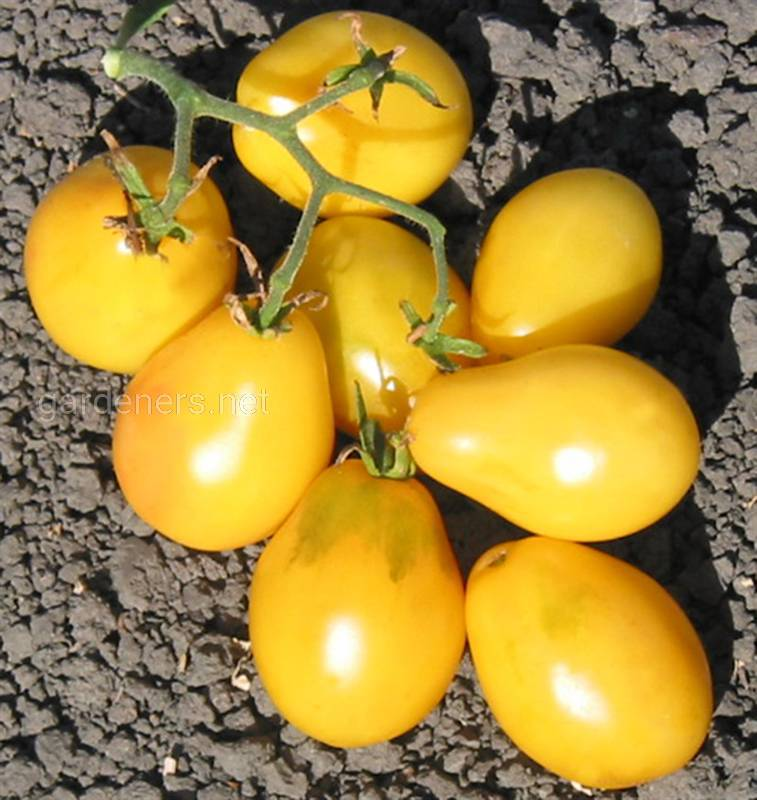 Old Ivory Egg tomatoes