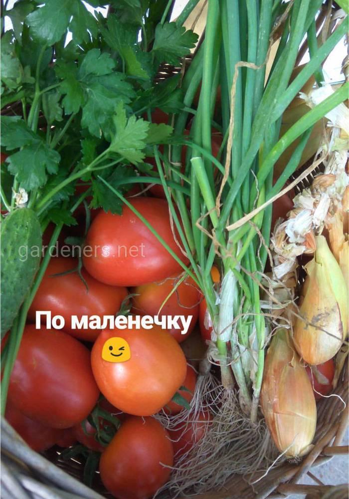 урожай томатов и лука