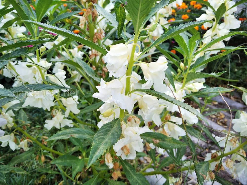 Бальзамін садовий - унікальна рослина, що має корисні властивості, які є дуже цінними. З метою лікування застосовують лише квітки і насіння бальзаміну як в сухому, так і в свіжому вигляді. Заготовляють насіння після того, як вони дозріють, - з серпня по вересень. Стебла звільняють від плодів, плоди просушують і просівають через сітку. Рослина цінується саме за те, що в її складі містяться сапоніни, жирне масло, базаміностерол і парінорінова кислота. Насіння цінні за наявність в їх складі білків, амінокислоти, ефірного масла і цукру, а квітки - за кемпферол і кверцетин. Розчини з насіння і стебла бальзаміну можуть придушити розвиток деяких бактерій, таких як стафілокок, тифозна паличка, зелена гнійна паличка і стрептокок. Використовують і відвари з квіток рослини, які застосовуються у випадках, якщо присутні удари, аменорея і ревматичні болі в суглобах. Що стосується зовнішнього застосування, слід спочатку подробити квітки, а потім можна використовувати при укусах отруйних змій, лишаях і при ранах, які довго гояться. Якщо бальзамін садовий має білі квітки, то його корінь застосовується як анестезуючий та наркотичний засоби. До слова сказати, на даний момент склад рослини вивчений не повністю і припускають, що з'являться ще способи застосування бальзаміну садового, який дуже цінним в сфері медицини.IMG_20200913_172947