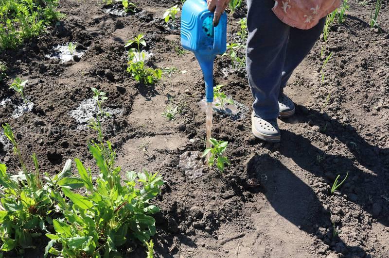 Процесс посадки рассады сладкого перца в открытый грунт.