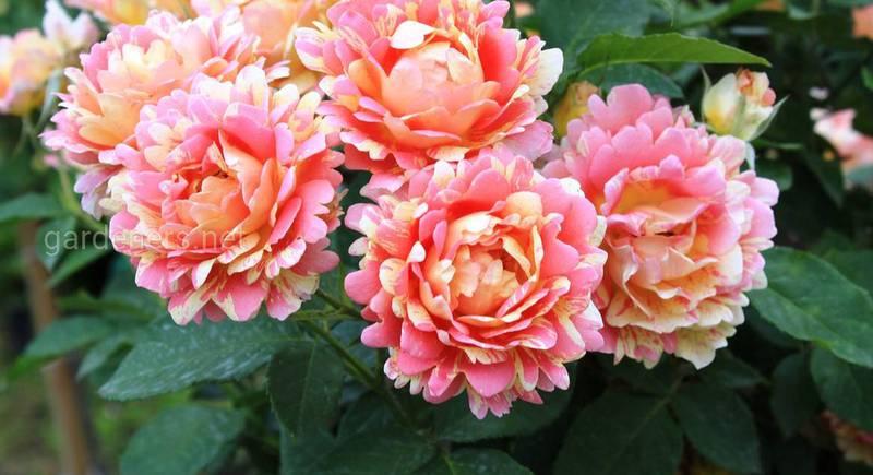ТОП-7 лучших сортов парковой розы: особенности и отличительные черты вида