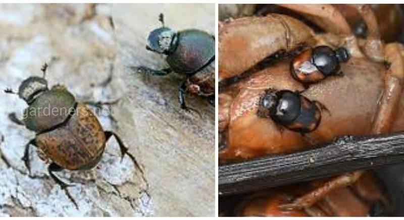 Скарабіаз - рідкісний тип паразитарного захворювання людини, яке викликають жуки скарабеї