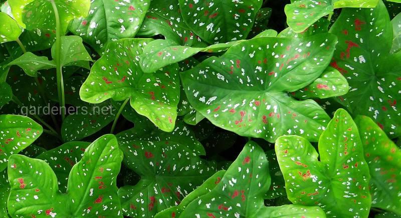 Каладиум: как вырастить прекрасное растение с разноцветными листьями у себя дома
