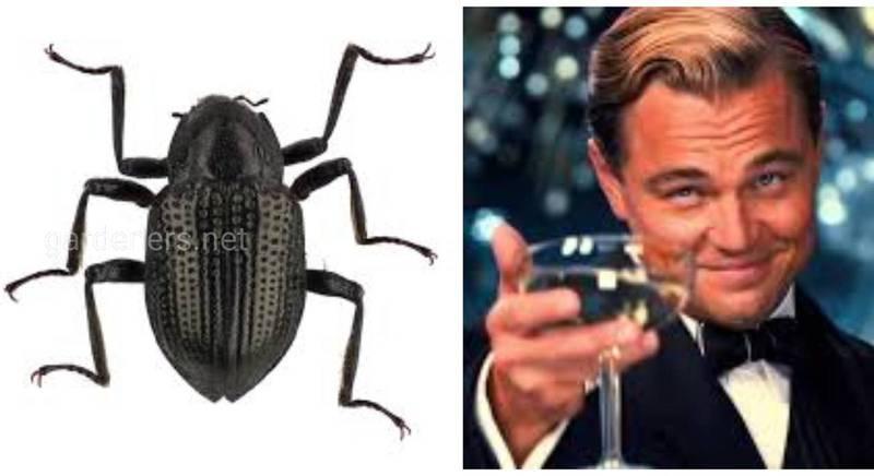 Ученые назвали маленького жука именем Леонардо Ди Каприо