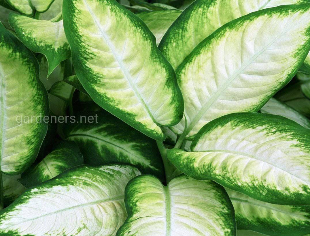 Dieffenbachia Tropic Marianne