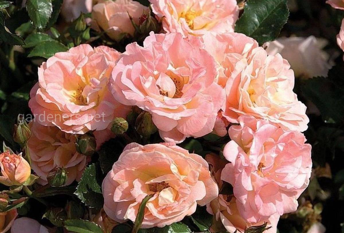 роза Пич Дрифт
