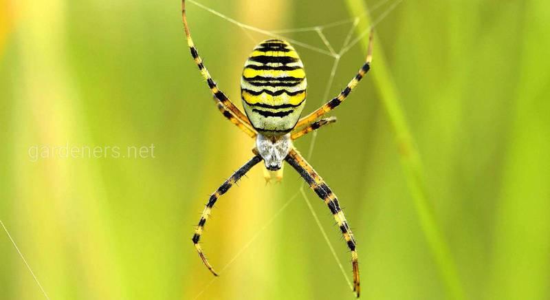 Ядовитые пауки Украины: описание и характеристики