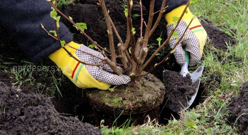 Правильная технология весенней посадки деревьев и кустарников