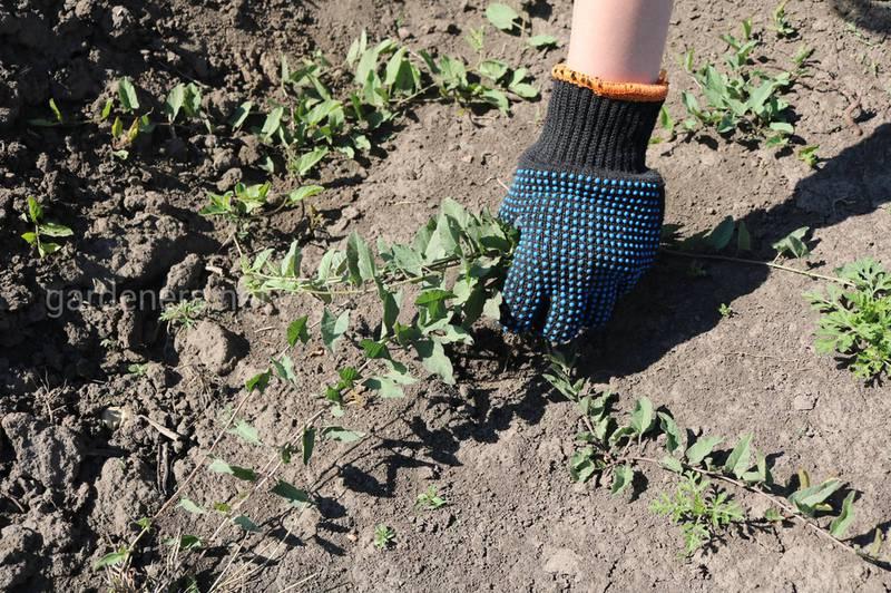 Как бороться с сорняками в органическом производстве?